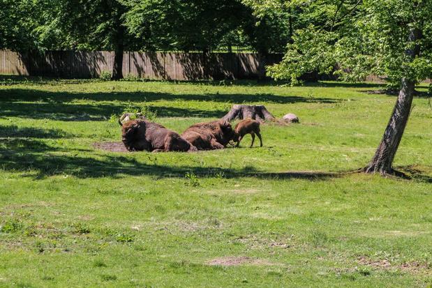 Babyboom bij bizons in Bellewaerde