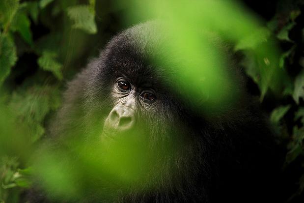 Gorilles des montagnes: une proximité qui pourrait les tuer