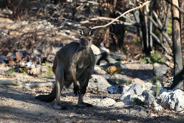 """Drie miljard dieren slachtoffer van Australische bosbranden: """"Slechts een voorproefje"""""""
