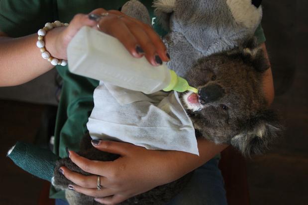 Knutselen voor koala's: Vlamingen slaan aan het breien voor Australië