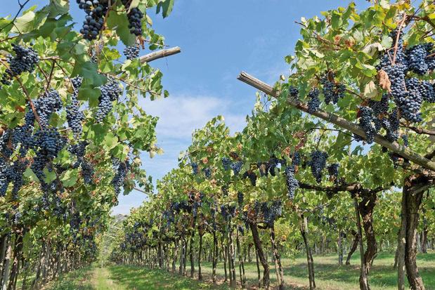 Van barolo-wijn tot barbaresco: de betaalbare nebbiolo-druif onder de loep