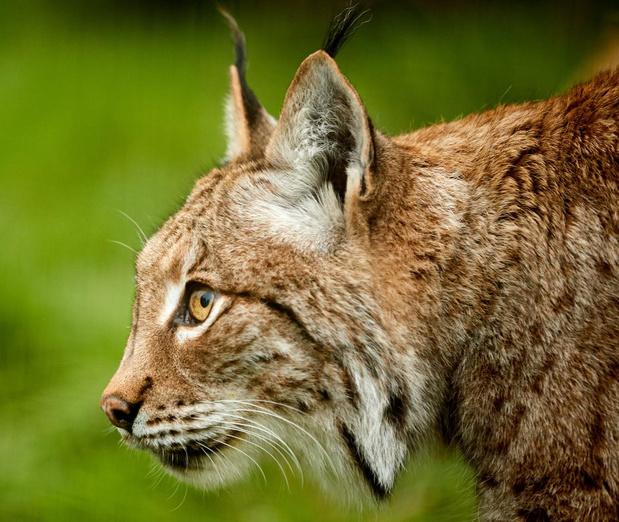 Nieuw bewijs van aanwezigheid lynx in de Semoisvallei