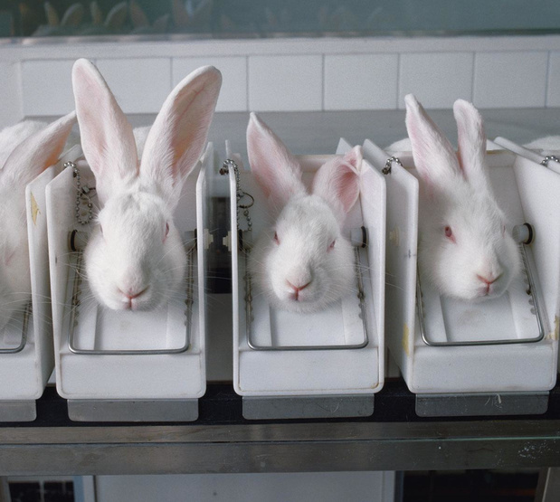 Covid: l'expérimentation animale s'invite dans la crise