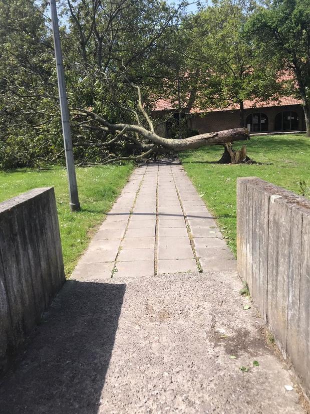 Notenboom omgevallen aan de Rodenburgkapel in Marke