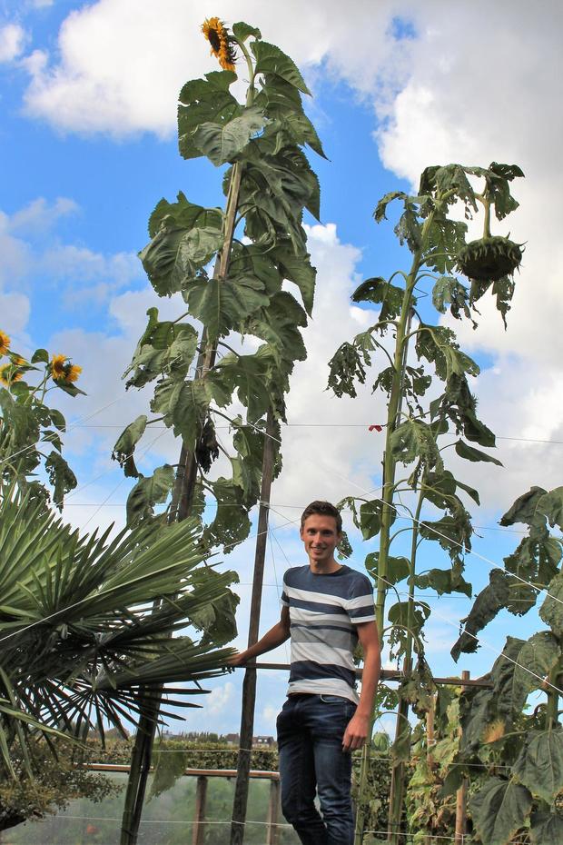 Peter Vansteenkiste uit Oudenburg verbreekt eigen record zonnebloem kweken