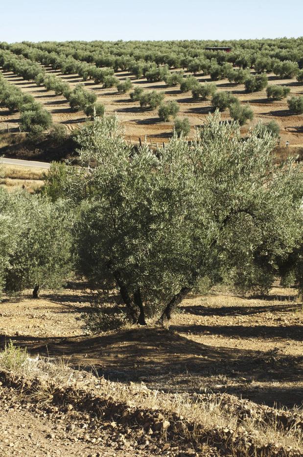 Vous reprendrez un verre d'huile d'olive ?