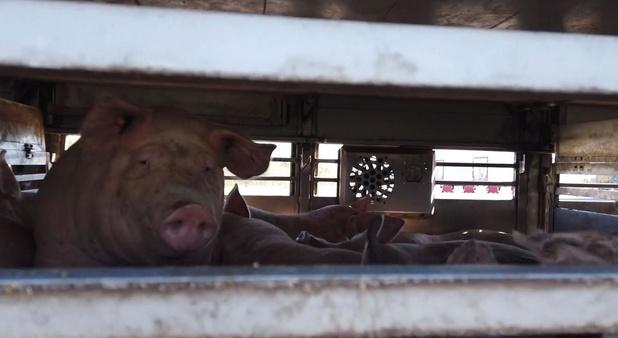 """Animal Rights klaagt behandeling varkens tijdens hittegolf aan: """"Geen enkele verkoeling"""""""