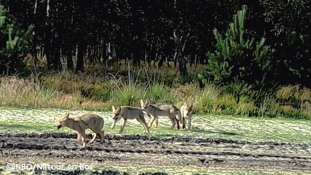 In het nieuws: on crie au loup dans le Limbourg