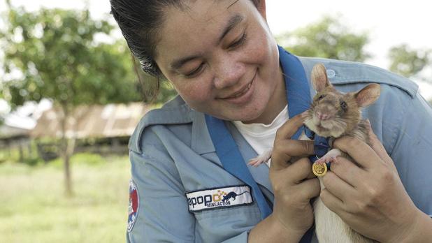 Un budget de 4,5 millions d'euros pour un rat capable de détecter l'odeur du TNT