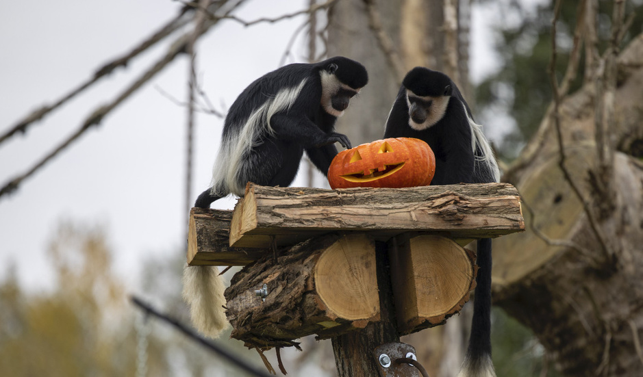 In beeld: dieren vieren Halloween in Pairi Daiza