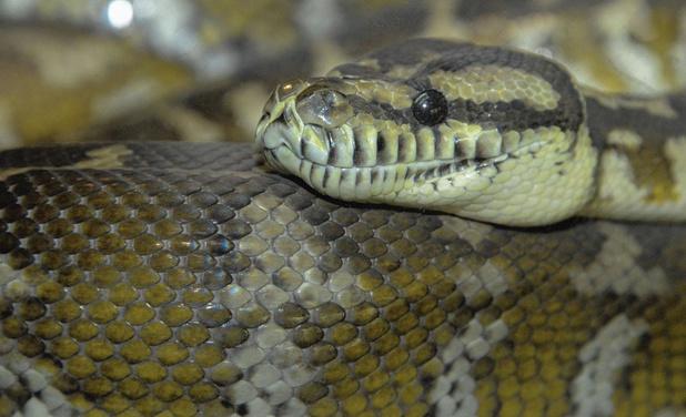 Van kindsbeen af bedacht op slangen