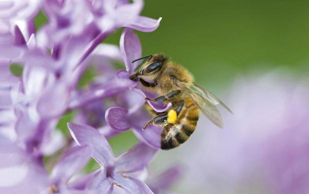 Quand essaiment les abeilles
