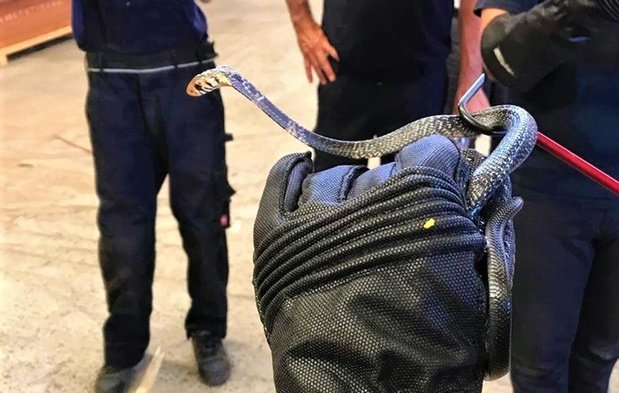 Team van SOS Reptiel uit Ichtegem vangt dodelijke boscobra