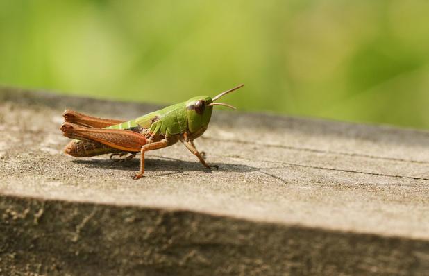 Onderzoekers leggen economisch potentieel van insecten bloot (video)