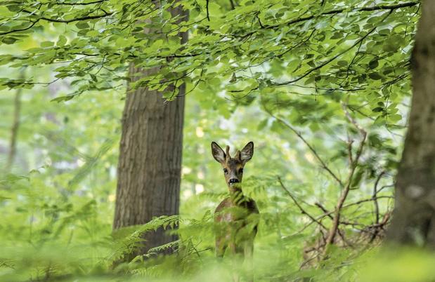 Nieuw leven in het Zoniënwoud