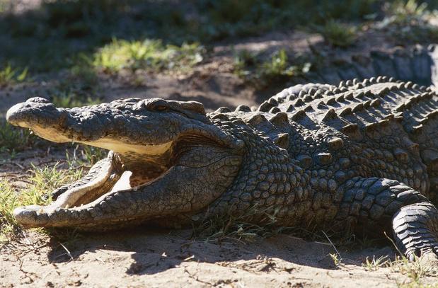 Covid-19 : la métaphore du crocodile et du triple bâton