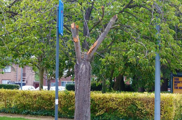 """""""Schandalig slecht"""" gesnoeide bomen in Kortrijk, blijken bewerkt met speciale techniek"""