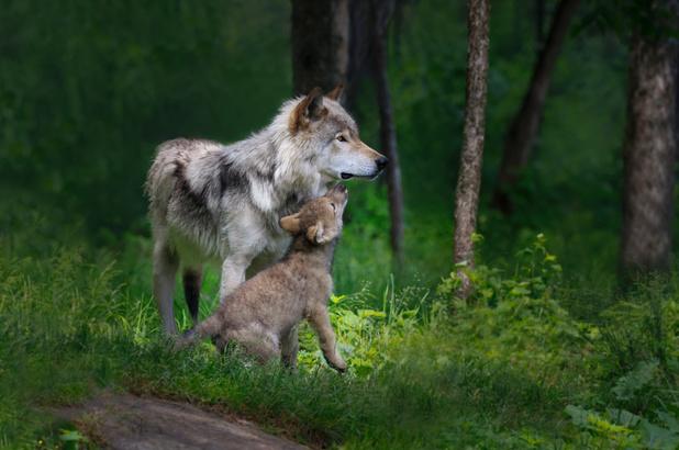 Regering Trump haalt de grijze wolf van de lijst met beschermde diersoorten