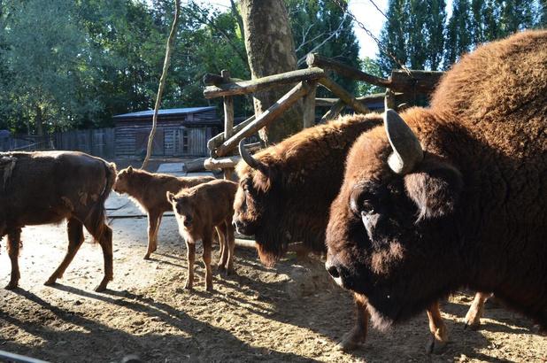 Drie Europese bizons geboren in één maand in Bellewaerde