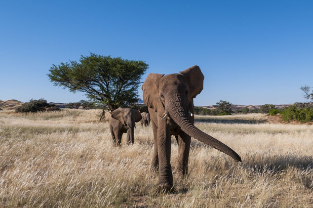Namibië verkoopt, ondanks kritiek, 170 wilde olifanten