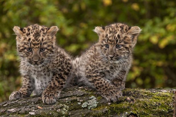 Goed nieuws voor de luipaarden in China: hun populatie groeit
