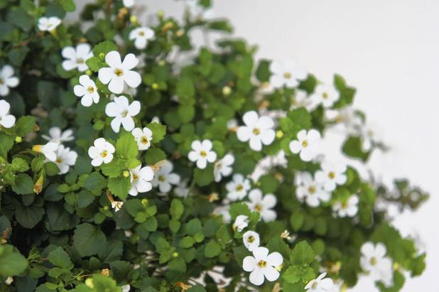 Traditionele plant voorkomt myocardhypertrofie