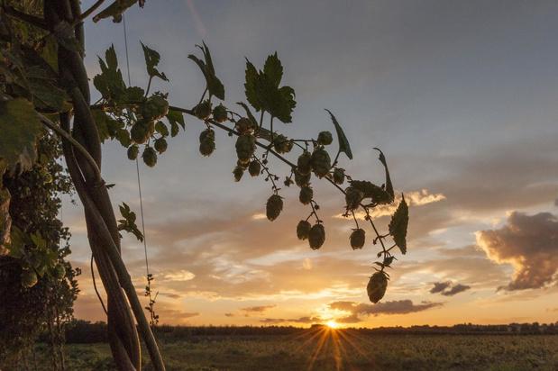 Stad Poperinge zoekt mannelijke hopplanten