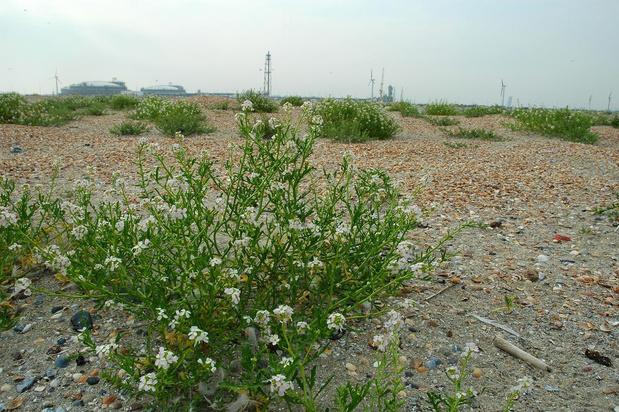Opvallend effect van de coronacrisis: zeeraket kiemt massaal op onze stranden
