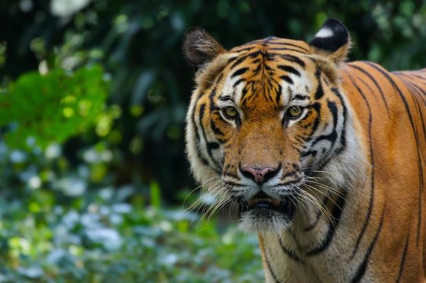 Tijger in New Yorkse zoo besmet