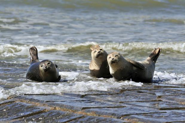 NorthSealTeam vraagt om zeehonden aan de Belgische kust met rust te laten