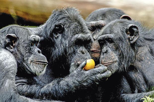 Nieuwe chimpansees