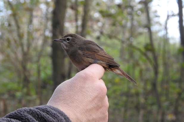 Zwin Natuur Park ringt record aantal vogels