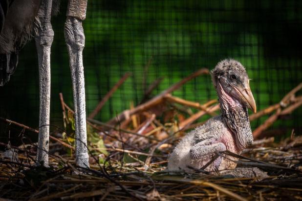 Primeur voor de Zoo in Antwerpen: Afrikaanse maraboes geboren