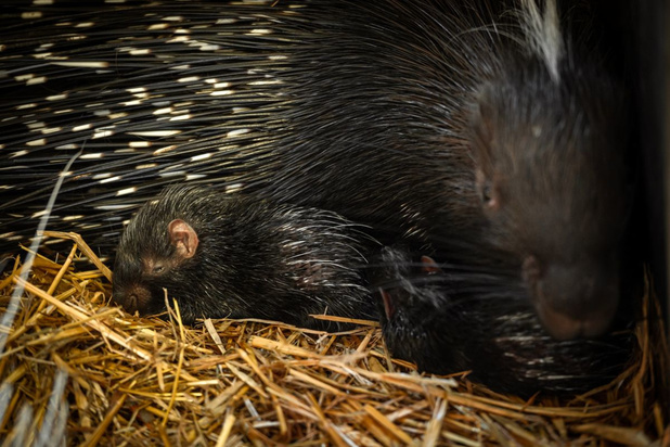 Voor het eerst twee Afrikaanse stekelvarkens geboren in Zoo Planckendael