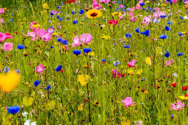ByeByeGrass wil grootste bloemenweide in de Benelux zaaien