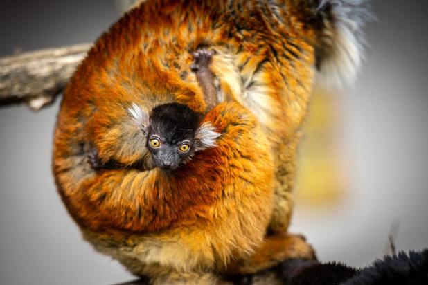 Primeur in Zoo Planckendael: ernstig bedreigde moormaki geboren