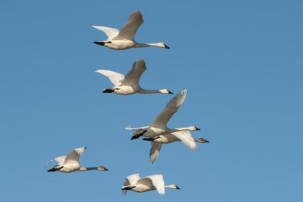 KMI brengt data over vogeltrek in kaart voor grote publiek