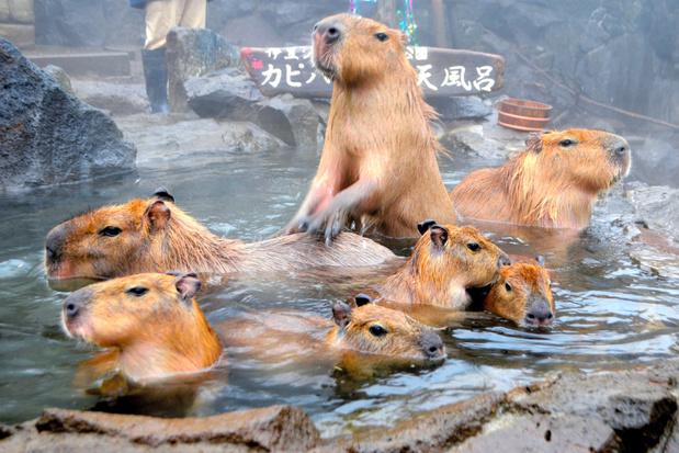 Deze Japanse dierentuin gebruikt reuze capibara's om afstand te bewaken