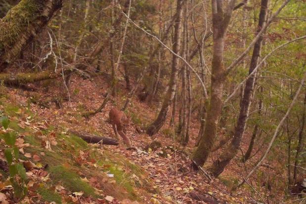 Eerste echte bewijs dat de lynx terug is in de Ardennen