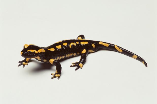 Beestenboel: schimmels en klimaatopwarming brengen onze grootste salamander in gevaar