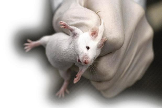 De strijd tussen mens en (vleer)muis
