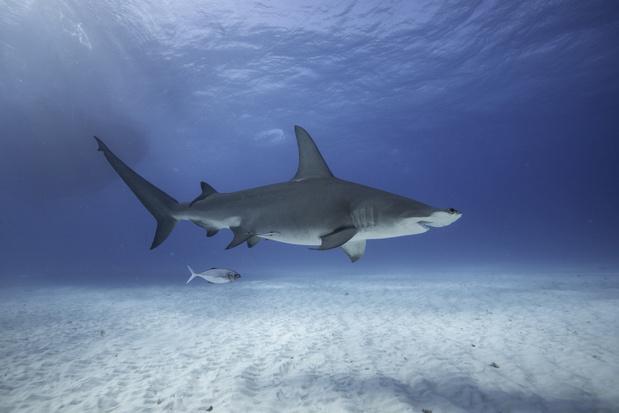 Lijst van bedreigde soorten bijgewerkt: derde van haaien dreigt uit te sterven