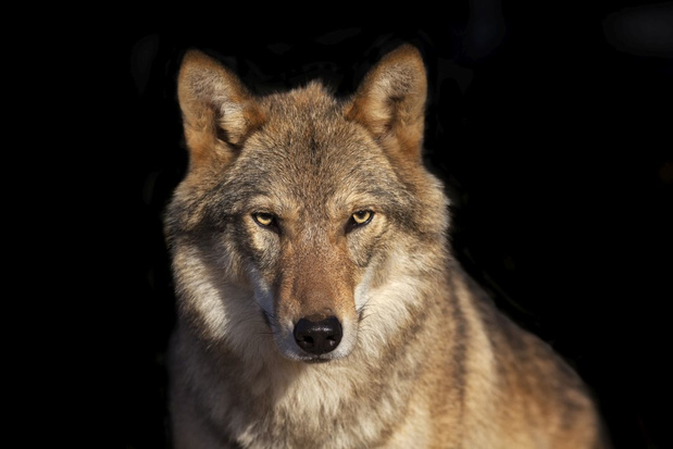Video: de wolf is terug in Gelderland