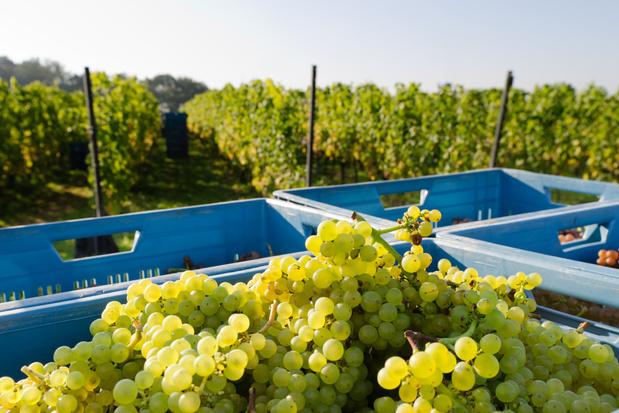 Vlaamse wijnboeren profiteren van klimaatopwarming
