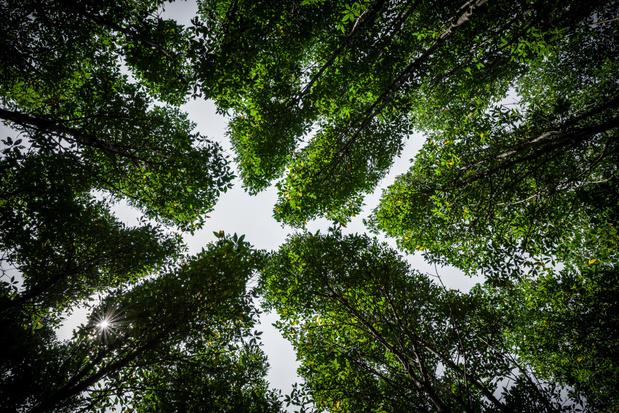 Waarom sommige boomsoorten vrijwillig aan social distancing doen
