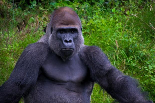 Hoop voor bedreigde gorilla in Congo