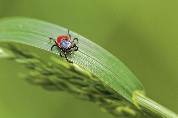 Des plantes contre la maladie de Lyme ?
