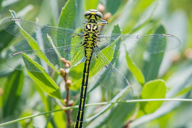 Beestenboel: libellen hebben net als mensen last van bijtende muggen