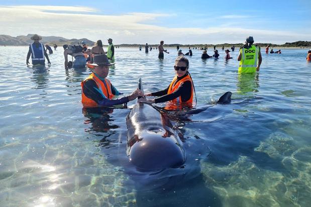 Meer dan 20 grienden gered nadat ze gestrand waren in Nieuw-Zeeland