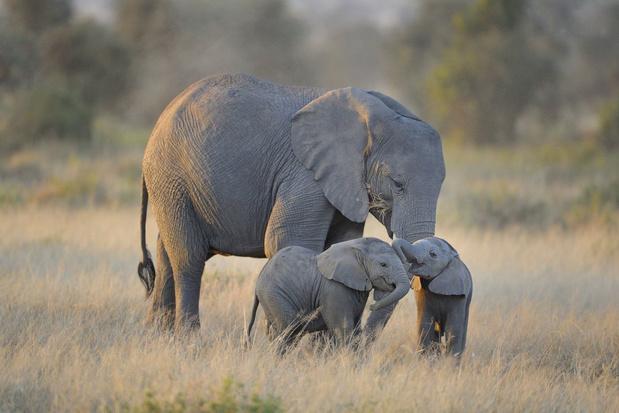 Kenia gaat voor het eerst alle wilde dieren in het land tellen